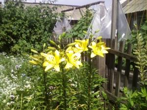 Пересадка лилий садовых