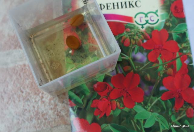 Кассия яванская феникс выращивание из семян