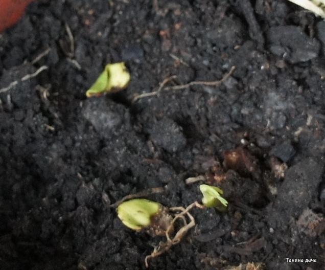 Кассия яванская феникс выращивание из семян 93