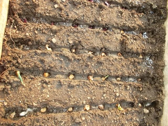 Как и когда сажать лук севок осенью 25
