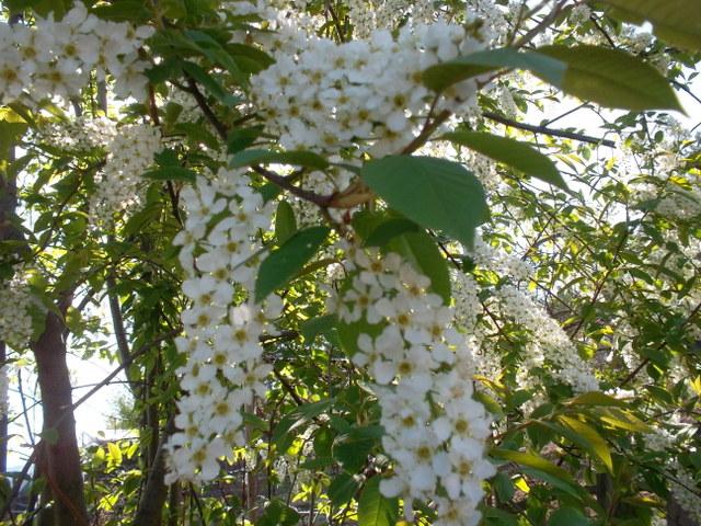 Растения, на которых растут фрукты - Бугага 81