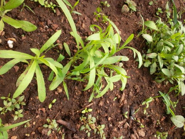Как сеять флоксы на рассаду в домашних условиях 29