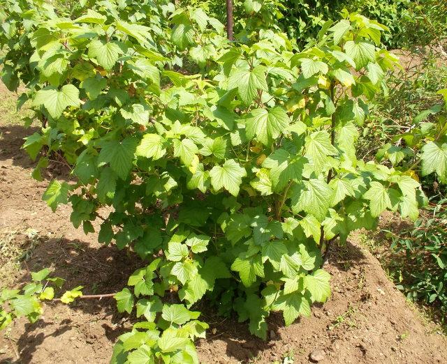 Выращивание чёрной смородины на приусадебном участке 57