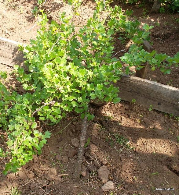 Выращивание смородины штамбовым способом 24