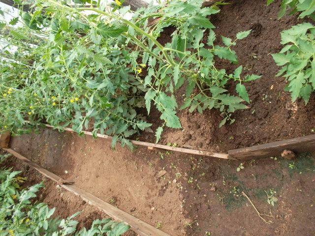 Уход за помидорами дачник