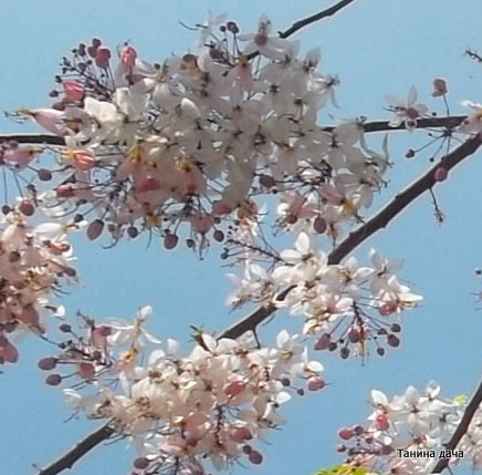 Кассия яванская феникс выращивание из семян 59