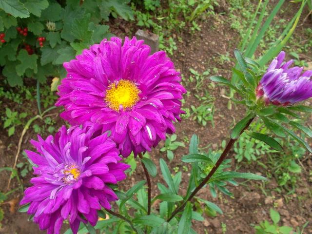 Астра цветы выращивание из семян 29