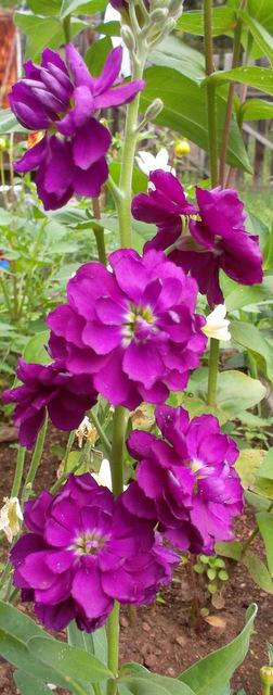 цветы левкой фото: