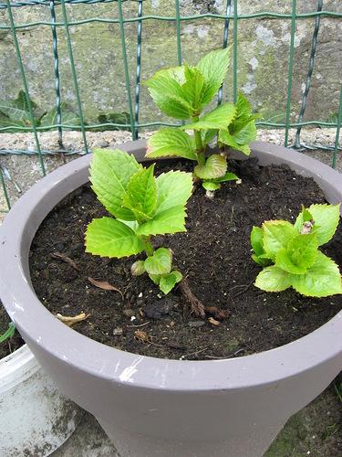 Гортензия семенами как вырастить