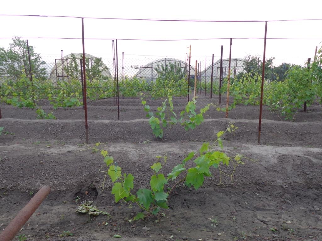 Как сажать и уход за виноградом 852