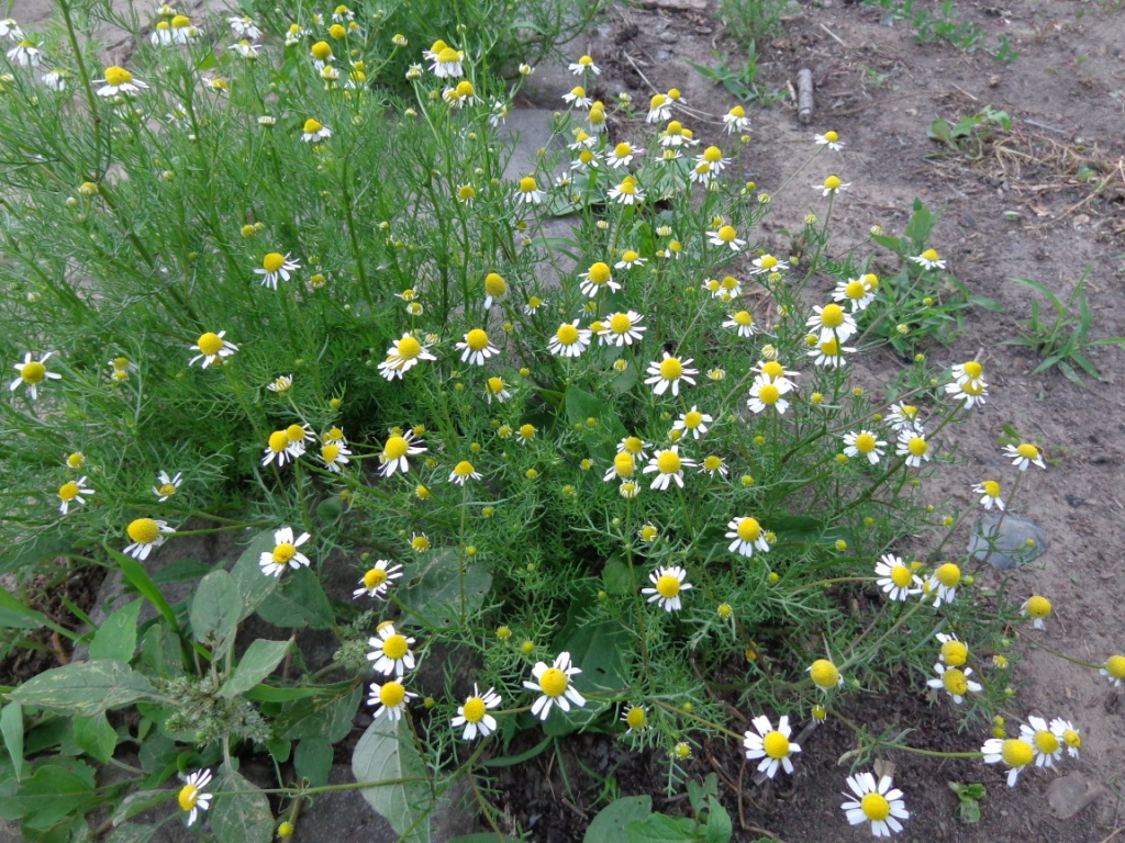 Сорняки — лекарственные растения на даче