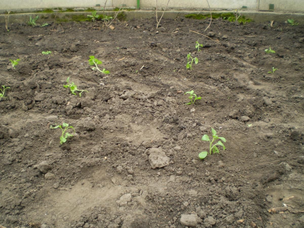 Как и когда сажать петунию на рассаду и в открытый